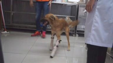Cola was visibly excited after having his new legs fitted.