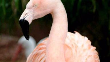 Chilean flamingo Pinky was known for her 'dancing'.