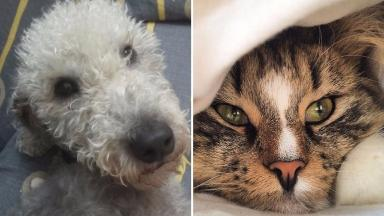 Earl Grey, the Bedlington Terrier, and Daisy, a Norwegian Forest cat