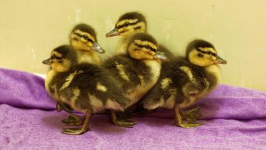 Ducklings: Scottish SPCA say the birds are 'doing well'.