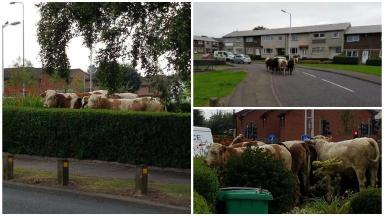 News Now: Cows in the street