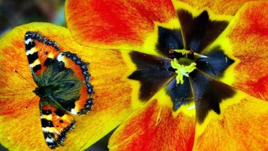 Red Admiral: The butterfly species is native to Scotland.