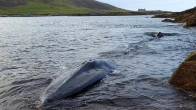 Whale: The animal's body is floating just off coast of Noss.