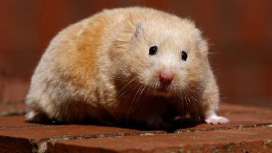 File picture of a hamster