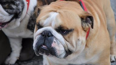 Brachycephalic breeds suffer a range of health issues.