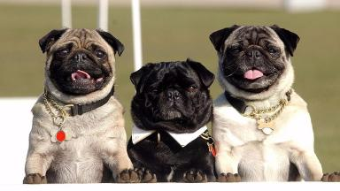 Pugs are one of the more popular breeds affected.