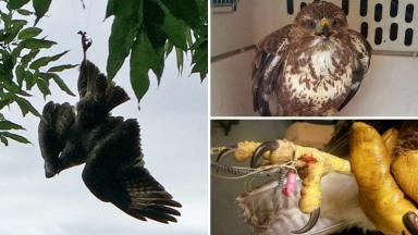 Rescued: Buzzard found tangled in tree.