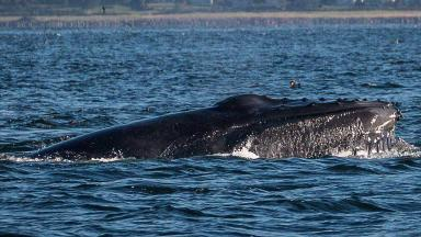Humpback whale: Caught on camera in the Cromarty Firth.
