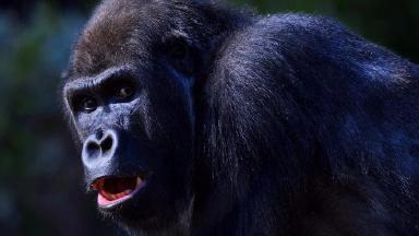 Gorilla escapes from enclosure at London Zoo