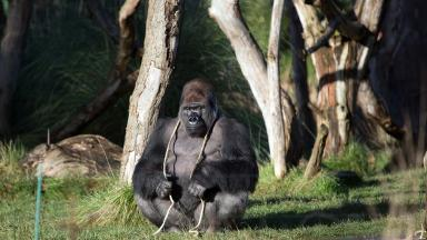 Kumbuka was shot with a tranquilizer dart and returned to his den.