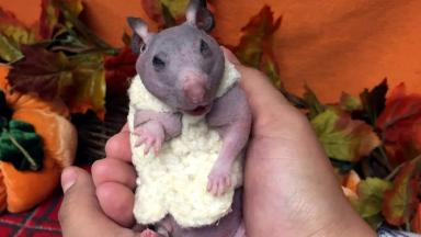 Silky, the hairless hamster, looks very happy with her new jumper.