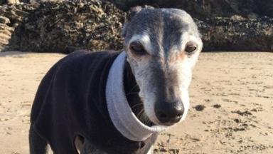 Walnut the whippet is going for an emotional final walk with his owner.