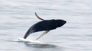 Humpback whale breaches in Firth of Forth near Kinghorn.