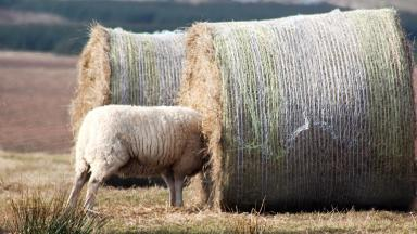 Sheep with head stuck in bale of Hay near Cruden Bay, Aberdeenshire, in 2017