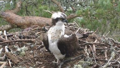 LM12: The male osprey landed at the Loch of the Lowes on Thursday.