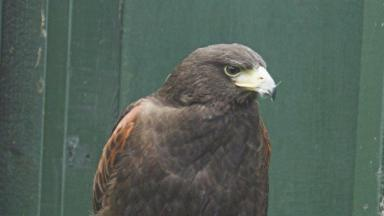 Stray Harris hawk found near Blair Drummond.