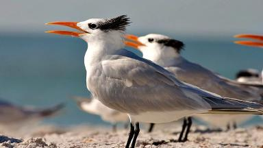 Royal tern. Unclear whether this is West African or American