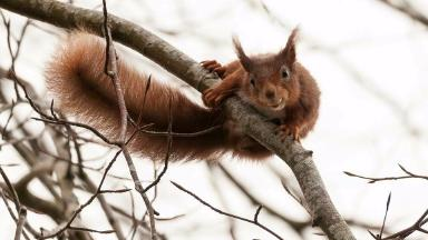 Red squirrel shot for SFTR