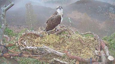 Loch Arkaig osprey camera
