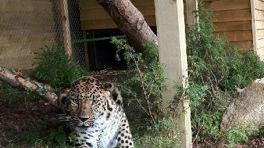 Freddo Amur Leopard