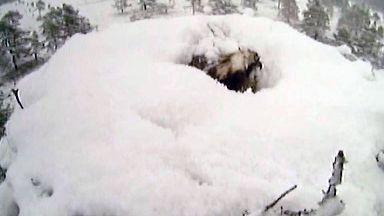 EJ the osprey buried by snow at RSPB Scotland's Loch Garten reserve