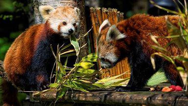 Red pandas Kitty and Kevyn at Highland Wildlife Park