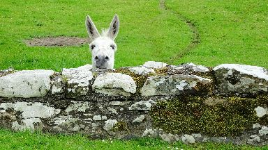 Well hello: A donkey pops up to say hello at Glenluce Abbey.