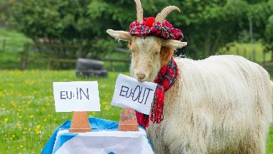 Fortune telling goat named boots who has put his powers of predictions into Europe.