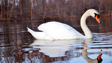 High resolution iamge of a swan on a lake
