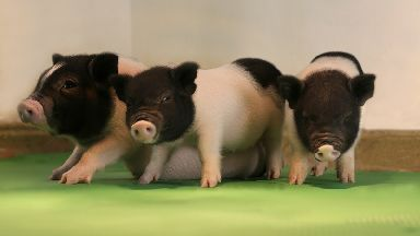The first batch of live pigs free of dangerous viruses