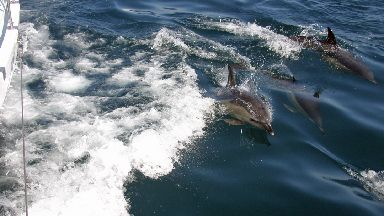 Common dolphins riding the bow wave of Silurian