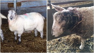Sheep worrying incident in Hawick, Friday 15 September 2017