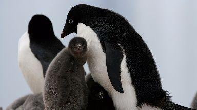 An Adélie penguin chick.