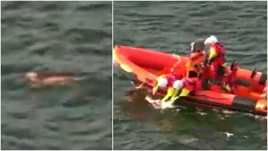 Rescue: Dog pulled onto boat. Cummingston Cockapoo Coastguard
