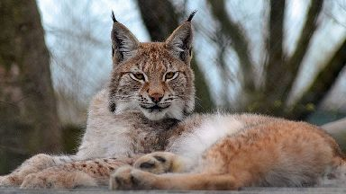 The young Eurasian lynx which has escaped from the wildlife park in Wales.
