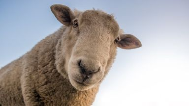 Sheep have about the same success rate identifying faces as humans.