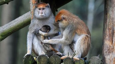 Patas monkeys are an attraction in zoos around the world.
