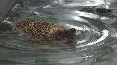 Swimming hedgehog Phelps