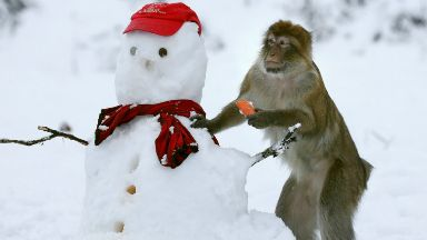 Snow fun: A monkey munches on a carrot nose at Blair Drummond Safari Park.