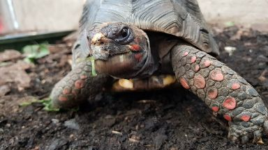 Huck, red-footed tortoise stolen from Edinburgh Butterfly World.