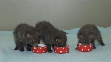 Three fox cubs, named Ethan, Frank and Bourne