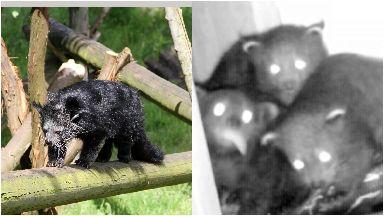 Binturong and cubs at Edinburgh Zoo