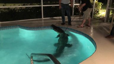 11-foot alligator found in Floridan family's swimming pool
