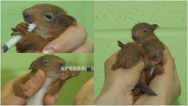 Three young squirrels have been rescued after they were blown from a nest.