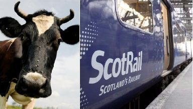 Cow hit by train