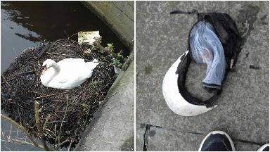 Swan with baseball cap stuck on foot rescued in Leith, the Shore.