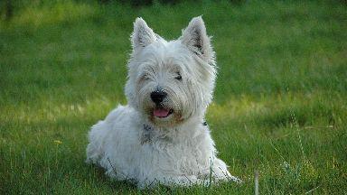 westie dog generic