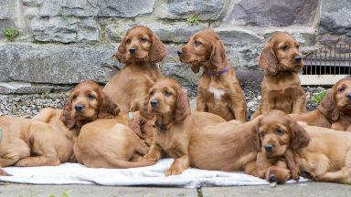 Irish setter puppies from mother Poppy from Galashiels.