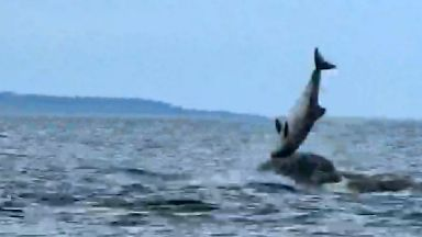 Dolphins hurl porpoise out of water in Moray Firth attack