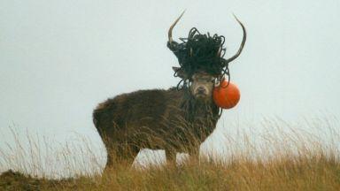 Isle of Rum stag
